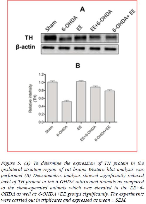 biomedres-striatum-region