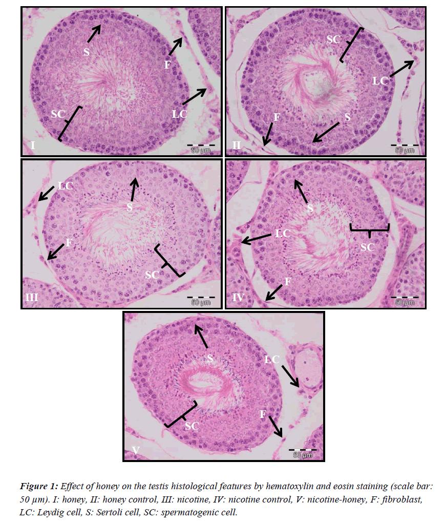 biomedres-testis-histological-hematoxylin