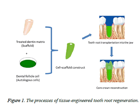 biomedres-tooth-root