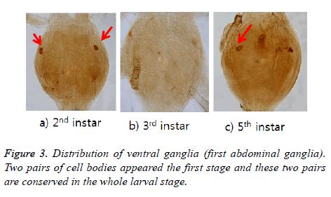 biomedres-ventral-ganglia